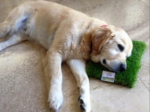 Dogs love it! synthetic lawn, artificial lawn and fake grass turf